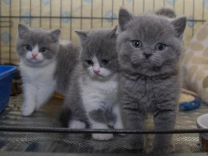 These are Adorable British short hair kittens For a New Home
