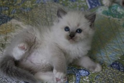 Two White Rogdoll Kittens for sale
