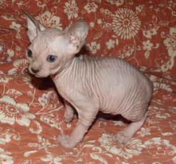 Registered Sphynx Kittens Available For Sale