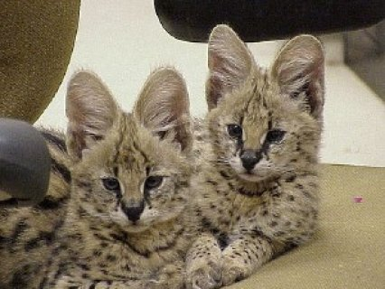 Cute Serval Kittens for Adoption