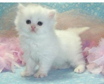 Adorable Persian Kittens for Adoption - 3 Months Old