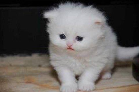 White persian kittens for sell