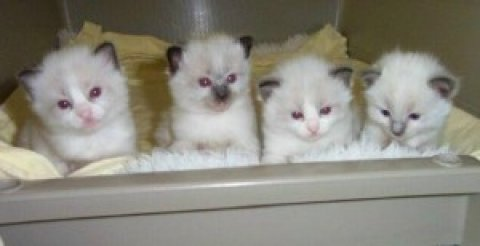 Ragdoll kittens New Years Addition to your family
