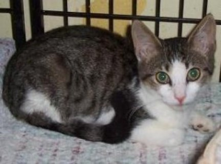 neutered + shots tabby american short hair needs asap home