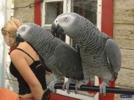 lovable african grey parrots for adoptions