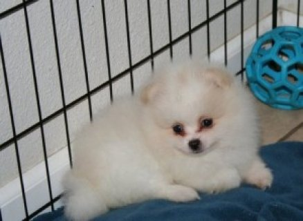 shiba inu puppies for xmas