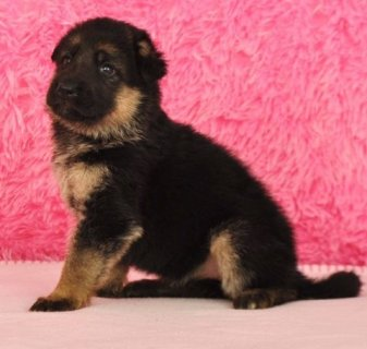 Cute Male and Female German Shepherd Dog Puppies