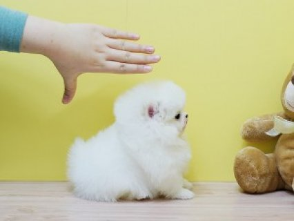 Potty Trained Pomeranian Puppies
