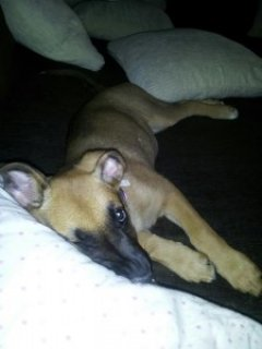 5mnth old German Shepard/Boxer Pup