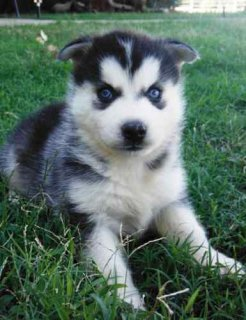 Cute Male And Female Siberian Husky For Sale