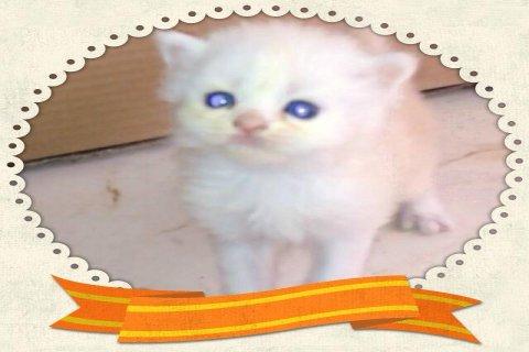 قطط شيرايزيات رائعات