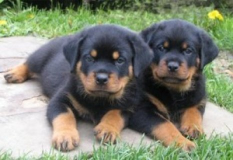 Potty Trained Rottweiler Puppies For Adoption