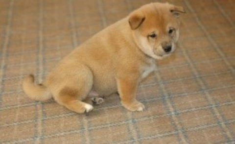 Sweet Shiba Inu Puppies Fro New Homes