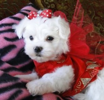 Gorgeous 1 male and 2 female Teacup Maltese puppies.