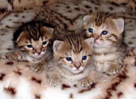 Serval and Savannah Kittens For Sale