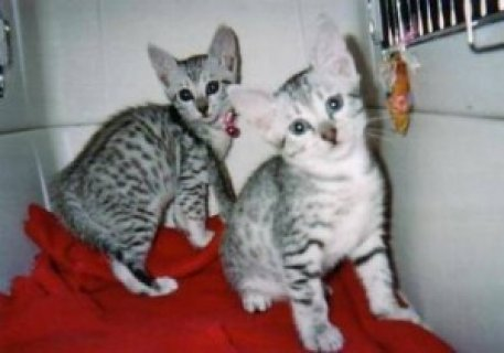 Lovely Egyptian mau kittens for good rehoming