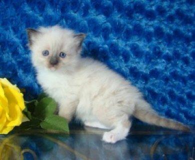 Male and female Registered Ragdoll Kitten for Sale