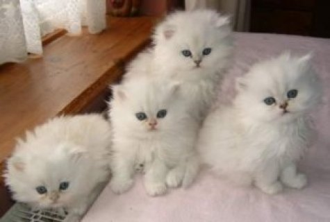 Male and female Cute Persian Kittens for Sale