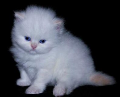 Adorable Persian Kittens for Adoption - 4 Months Old