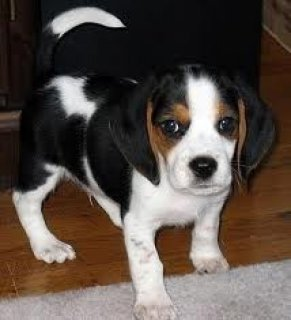 AKC Show Quality Beagle Puppies