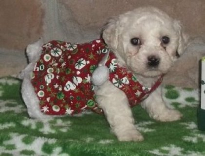 adorable Bichon Frise puppies