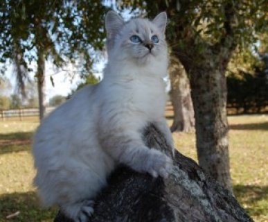 American Bobtail Lynx Point Kitten Blue Eyes