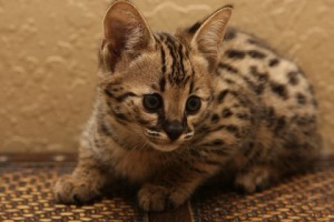 Brown And Silver Savannah Kittens Available