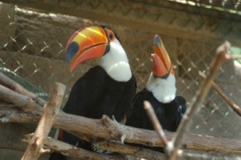 Breeding Pair of Toco Toucans