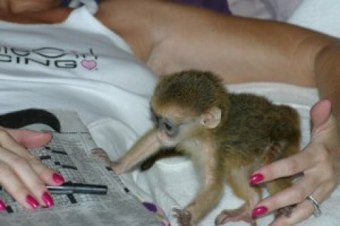 صور Capuchin Monkeys for Adoption in to Loving homes 2