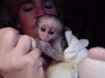 Capuchin Monkeys for New Homes