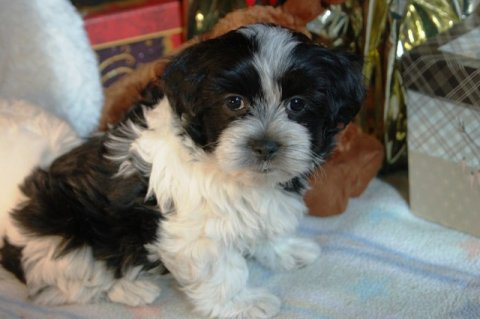 Home raised and Potty trained Havanese Puppies for sale