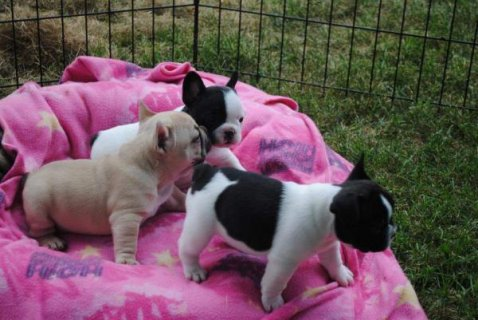 صور 3 Lovely and cute Tiny French Bulldogs Puppies now available 1