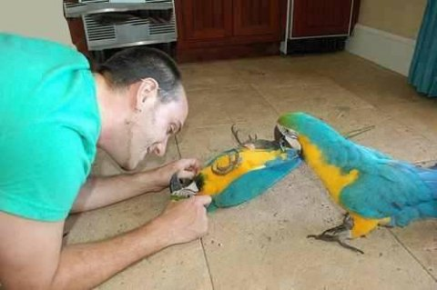 Talking Blue and Gold Macaw Parrots available