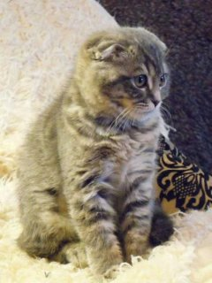 Purebreed 12weeks old male,female Scottish Fold Kittens for sale
