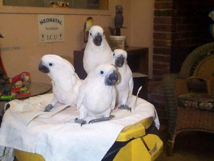 Pair of Talking Umbrella Cockatoo Parrots for sale okay