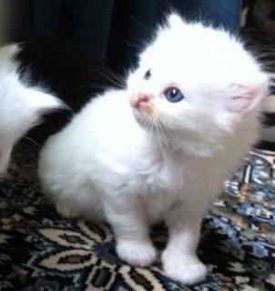 shirazi kitten for sale