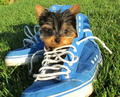 Succulent 3.5lbs full grown Male and Female Teacup size Yorkie
