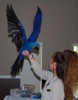 Home Raised Female Hyacinth Parrot