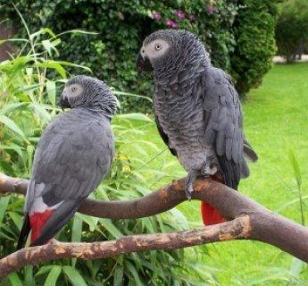 beautiful and sweet congo african grey