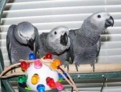 Beautiful African Grey Parrot for Sale