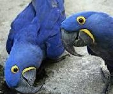 Hyacinth Macaws Needs a Family