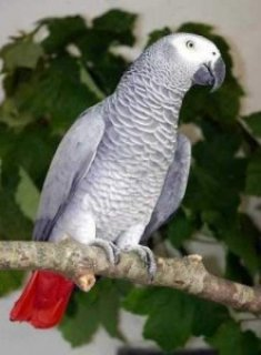Adorable african gray parrots coming for you......