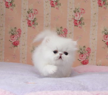 Potty trained and home raised Tiny Teacup Persian Kittens