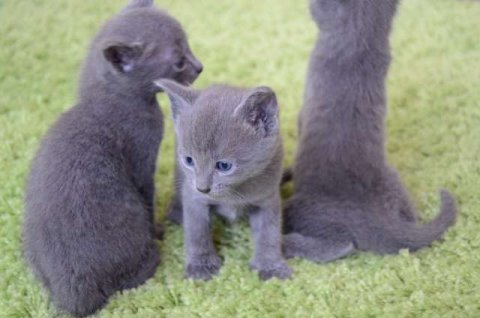 Potty trained and home raised Russian Blue Kittens for good home