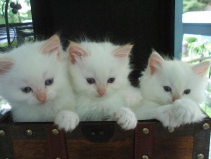 Potty trained and home raised Ragdoll Kittens for good home