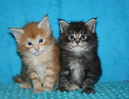 Potty trained and home raised Maine Coon Kittens for good home
