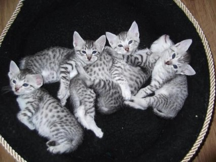 Potty trained and home raised Egyptian Mau Kittens 4 good home