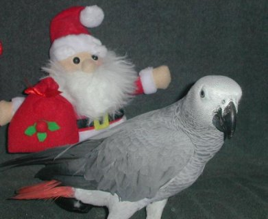 Pair of Congo Grey parrots ready for a new home