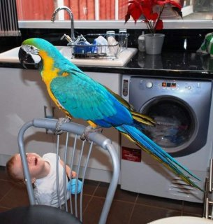 Hand-fed and Well tame pair of talking Blue and gold macaw