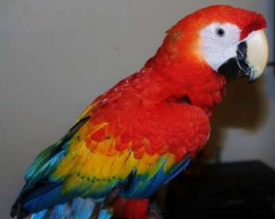 Home raised and hand-fed pair of Scarlet Macaw Parrots